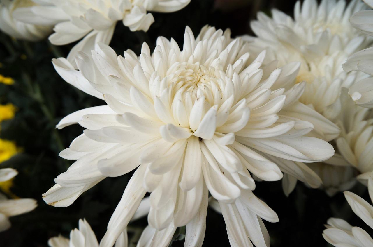 Hình ảnh hoa cúc trắng đẹp