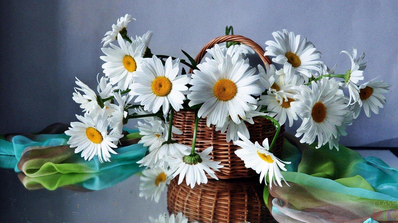 Hình ảnh hoa cúc trắng khoe sắc