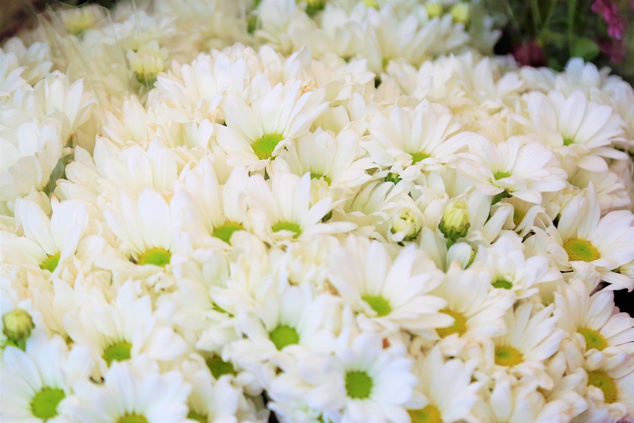 Hình ảnh hoa cúc trắng rực rỡ