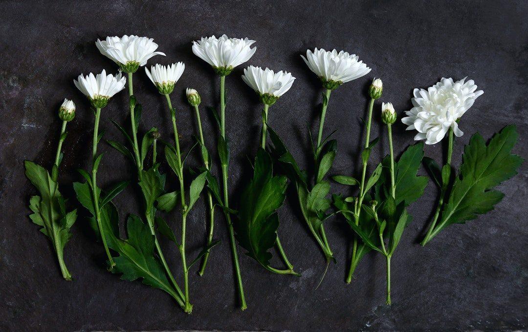 Hình ảnh về hoa cúc trắng đẹp