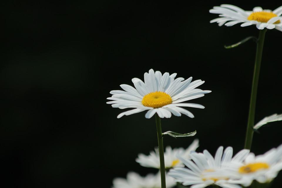 Hình hoa cúc trên nền đen đẹp nhất