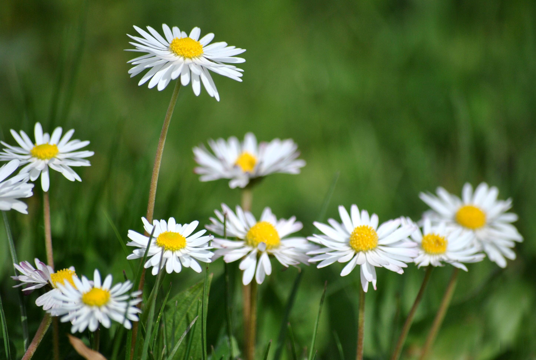 Hình nền hoa cúc họa mi cực đep