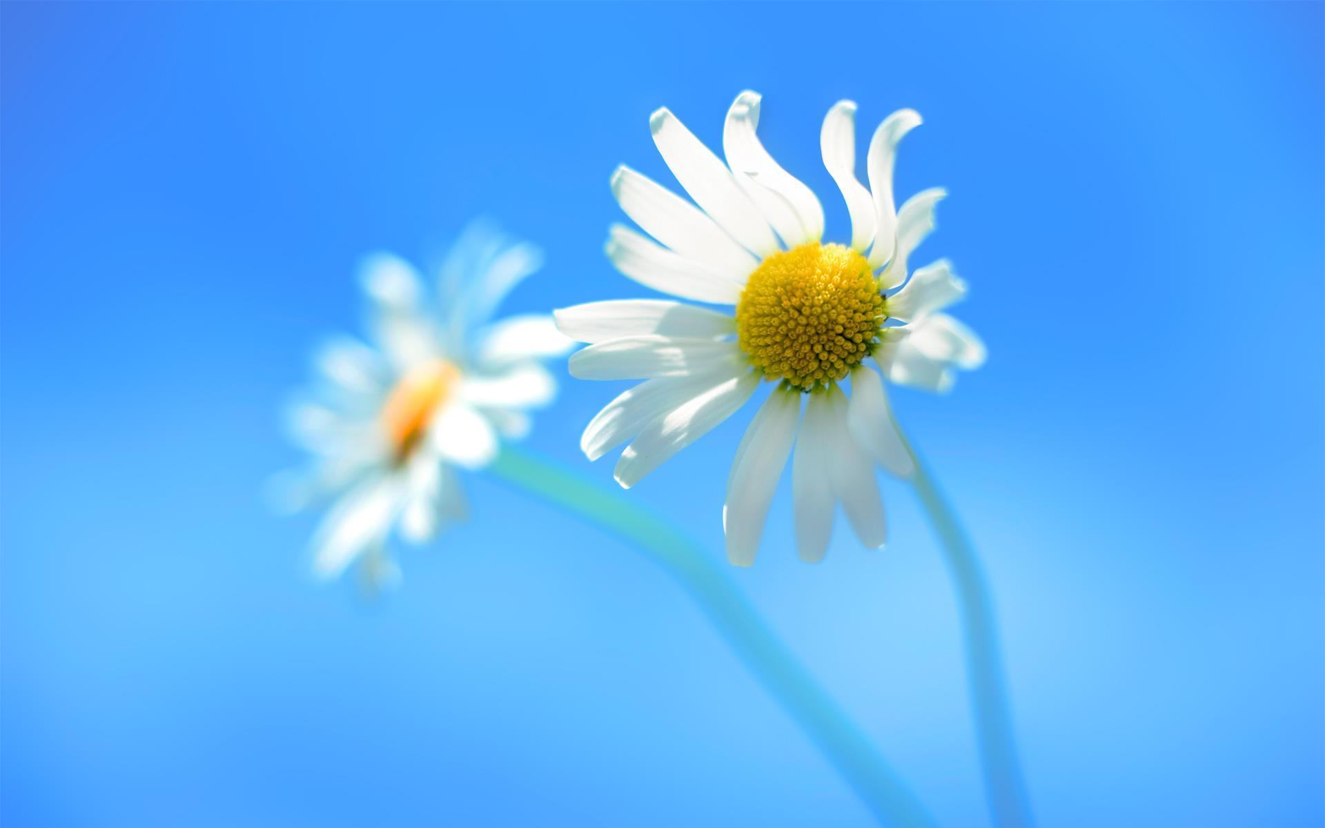 Hình nền hoa cúc trắng đẹp nhất