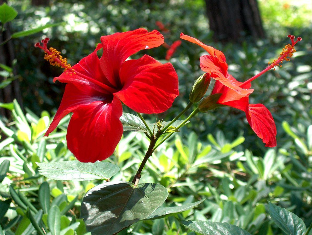 Ảnh bụi hoa dâm bụt đỏ đẹp