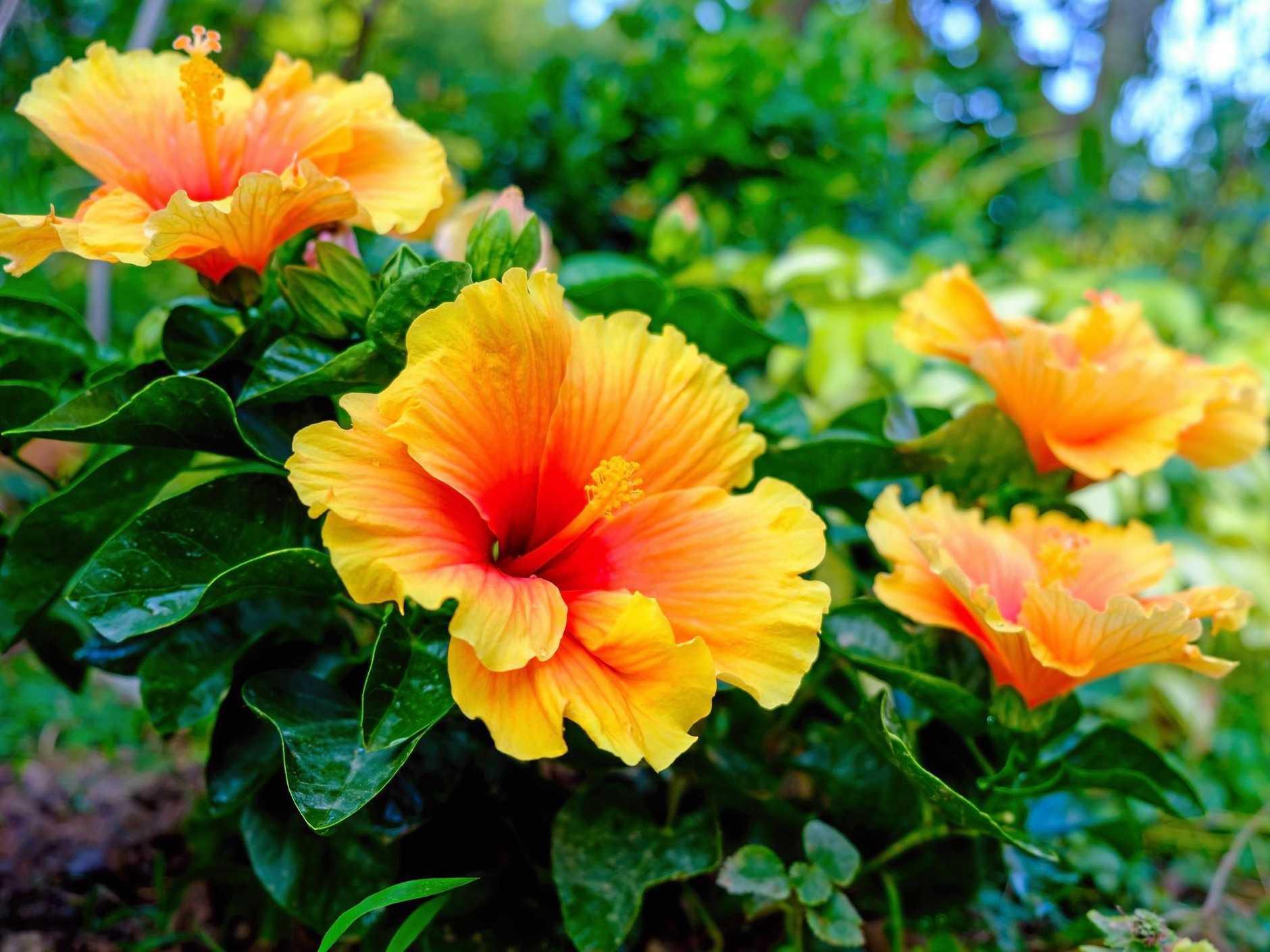 Ảnh bụi hoa dâm bụt vàng rực