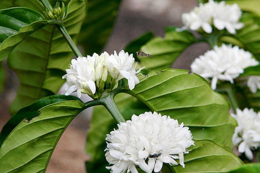 Ảnh cà phê ra hoa