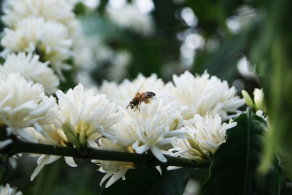 Ảnh cây cà phê ra hoa