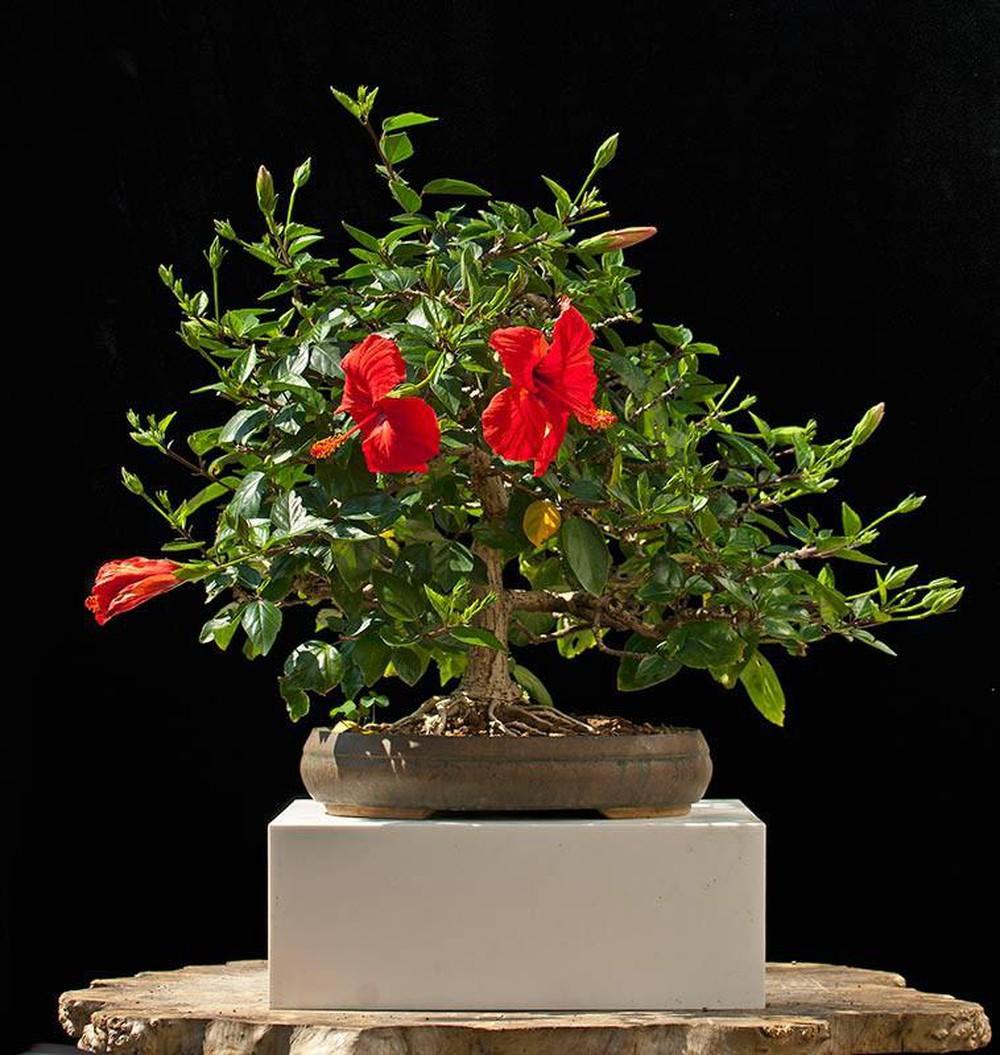 Ảnh cây dâm bụt bonsai