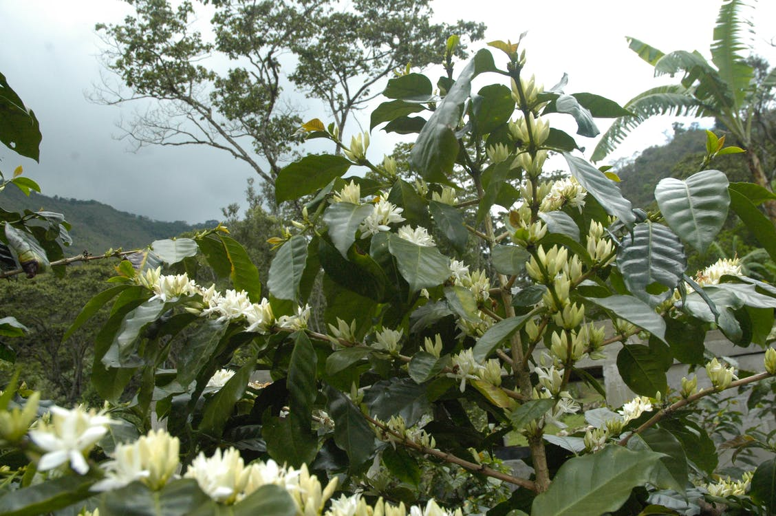 Ảnh cây hoa cà phê đẹp