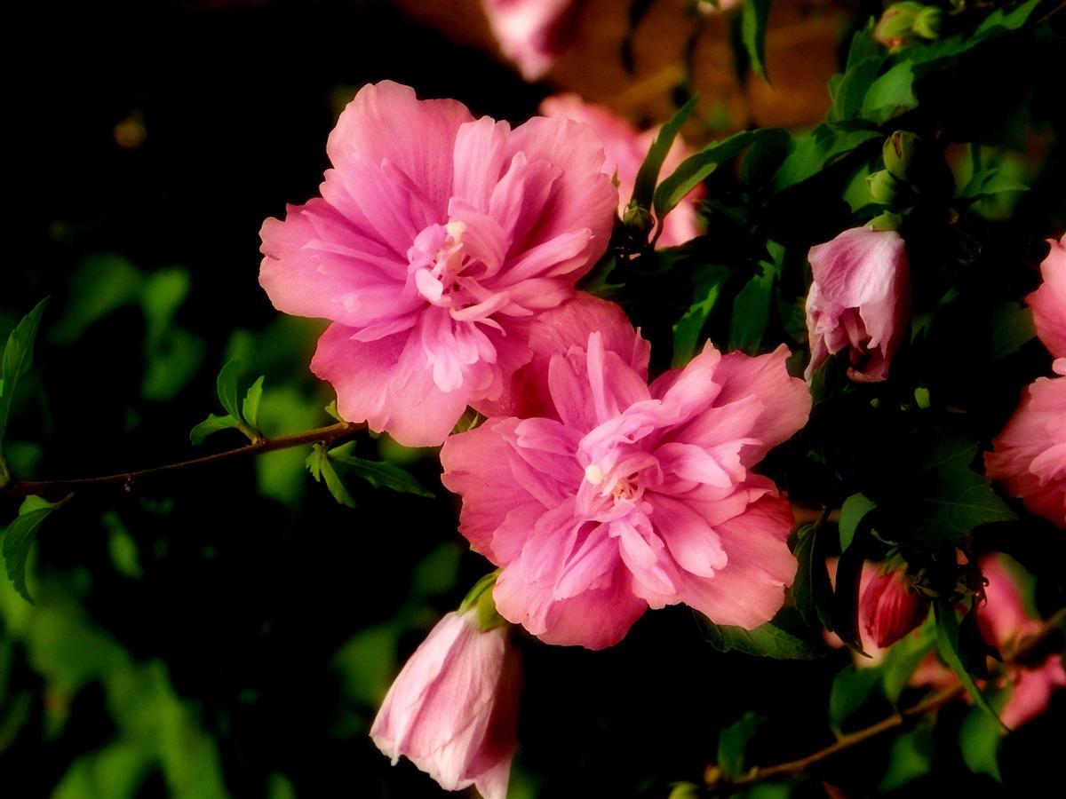 Ảnh cây hoa dâm bụt hồng đẹp