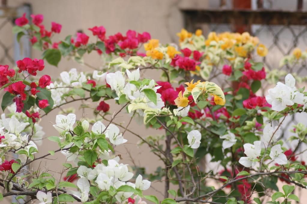 Ảnh cây hoa giấu ngũ sắc đẹp