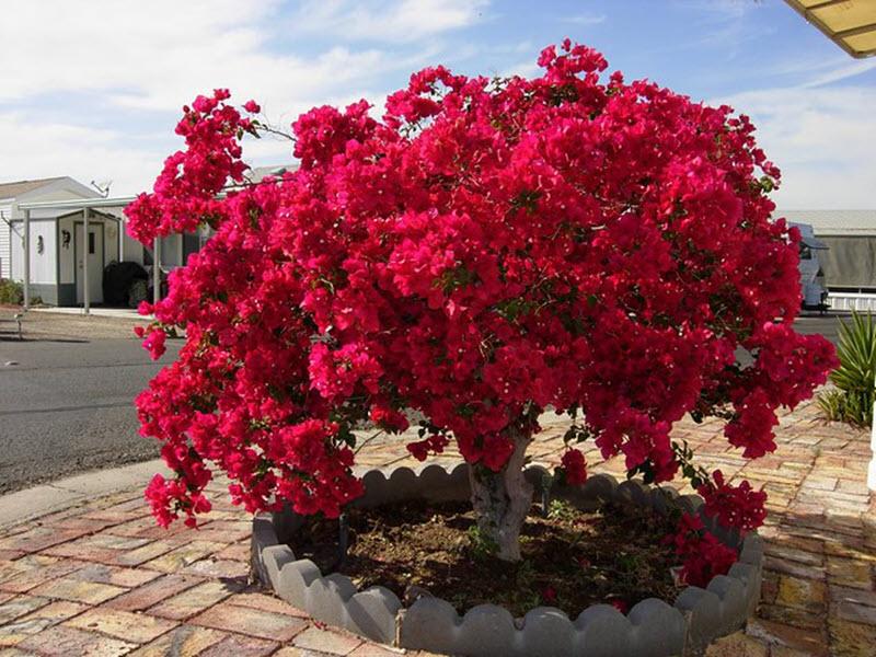 Ảnh cây hoa giấy đỏ rực góc sân