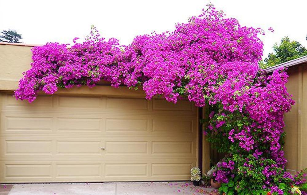 Ảnh cây hoa giấy trang trí cổng đẹp