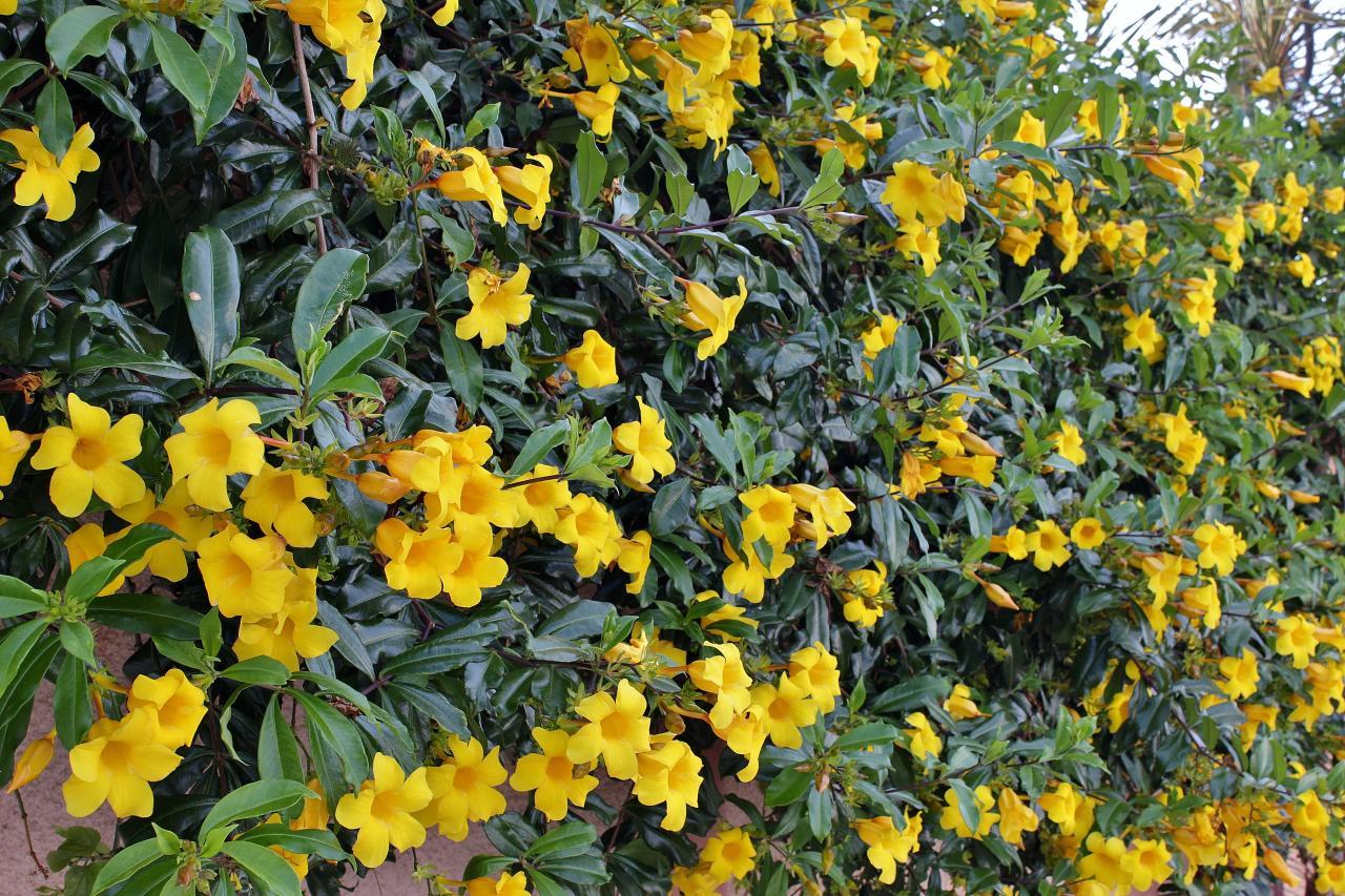Ảnh cây hoa Quỳnh Anh leo