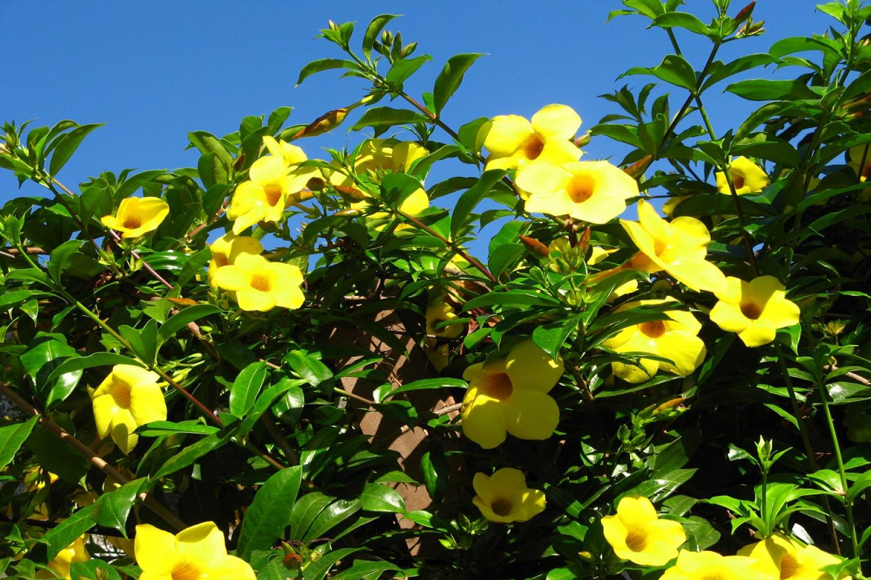 Ảnh cây hoa quỳnh anh nở rộ