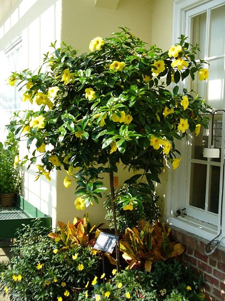 Ảnh cây hoa Quỳnh Anh thân gỗ