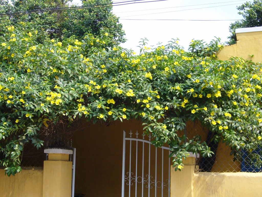 Ảnh cây hoa Quỳnh Anh trồng hàng rào