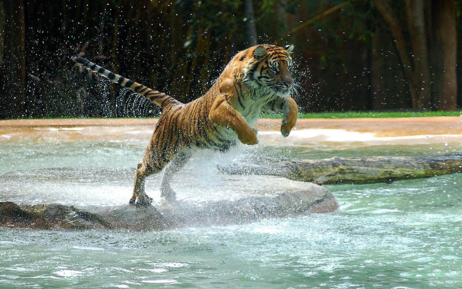 Ảnh con hổ đang nhảy cực đẹp