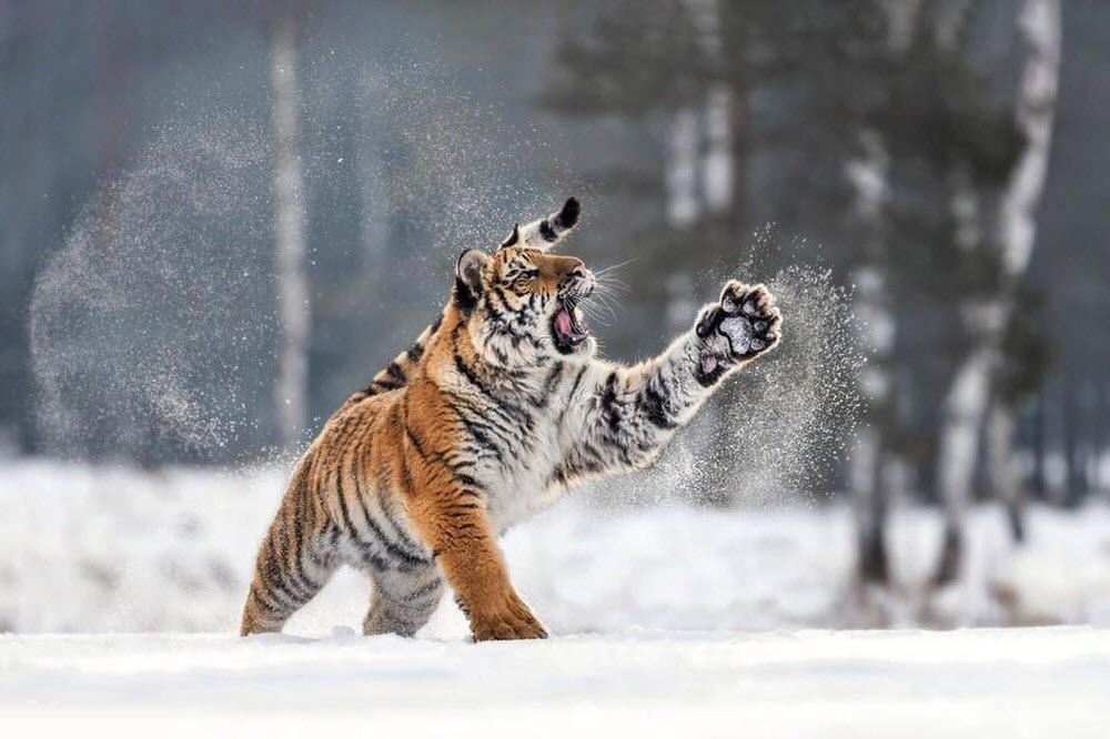Ảnh con hổ nghịch tuyết trắng xóa
