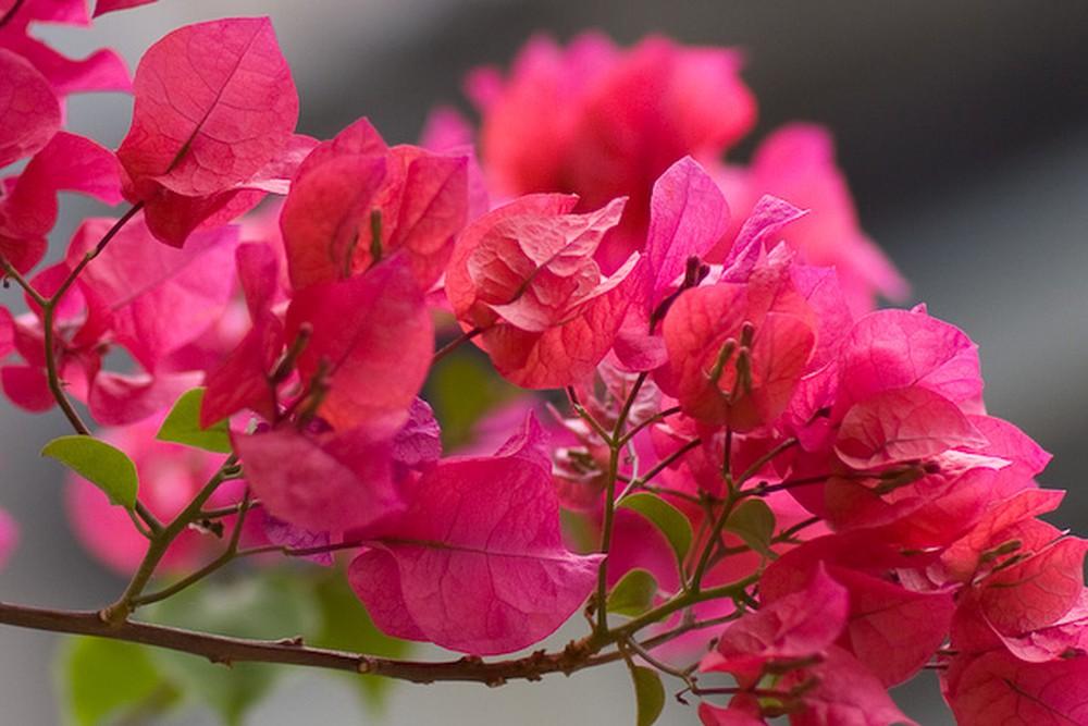 Ảnh đẹp nhất về hoa giấy