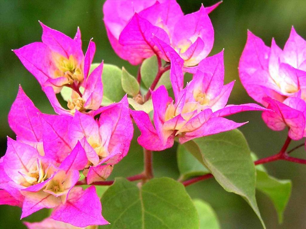 Ảnh đẹp về cây hoa giấy