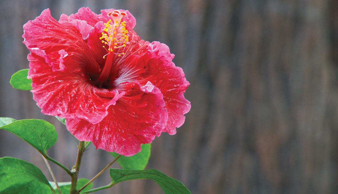 Ảnh hoa bông bụp Hibiscus