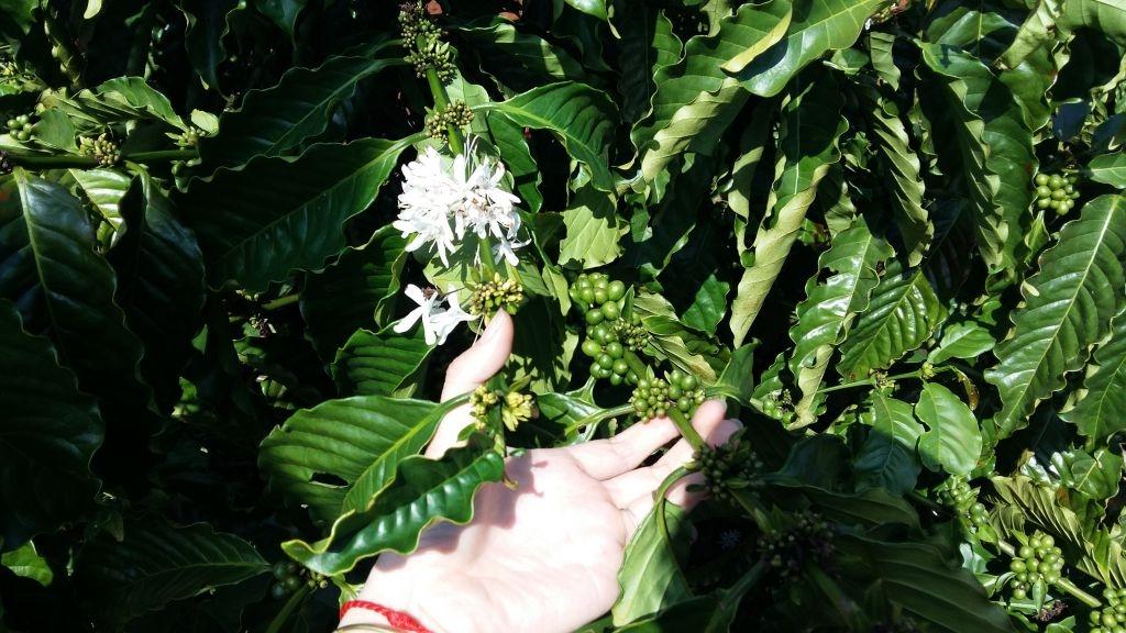 Ảnh hoa cà phê cuối mùa