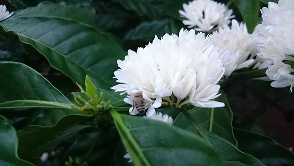 Ảnh hoa cà phê nở rộ tháng 3