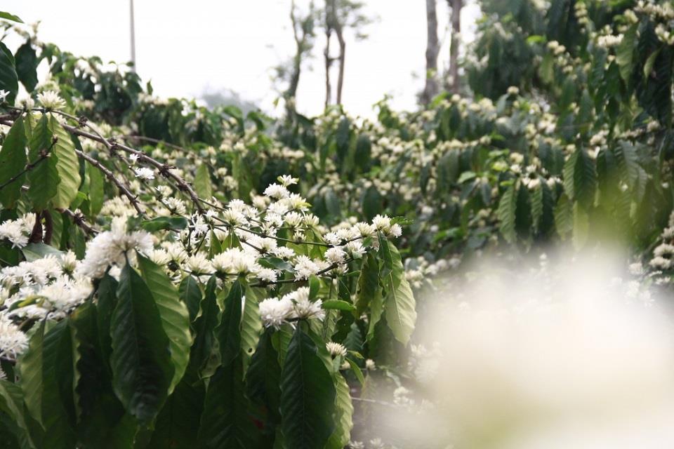 Ảnh hoa cà phê nở trắng xóa như tuyết