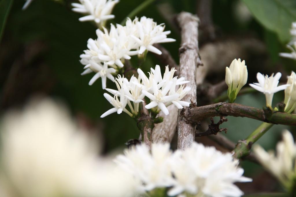 Ảnh hoa cà phê  nở trắng xóa