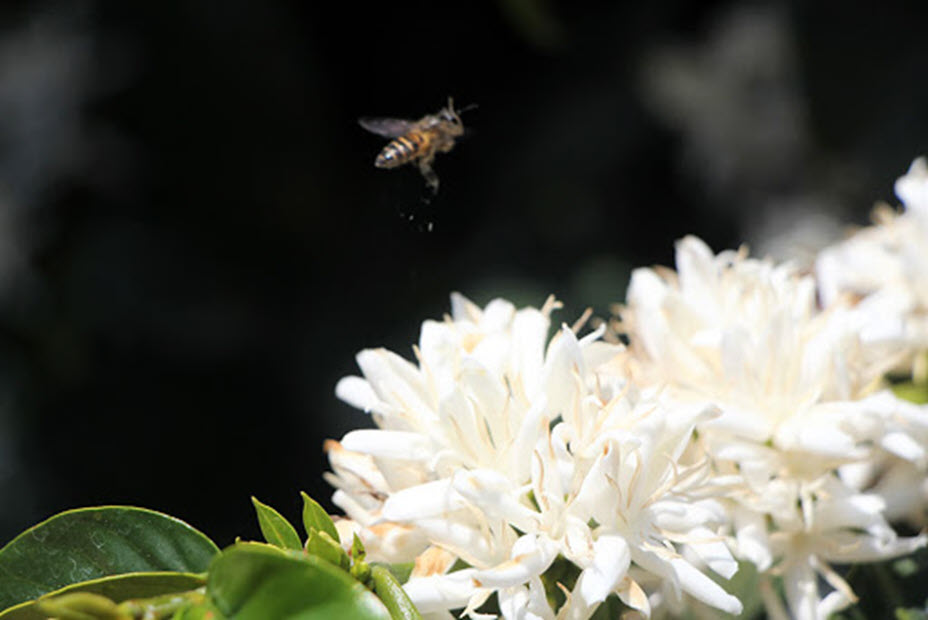 Ảnh hoa cà phê - Tây Nguyên xuân trắng