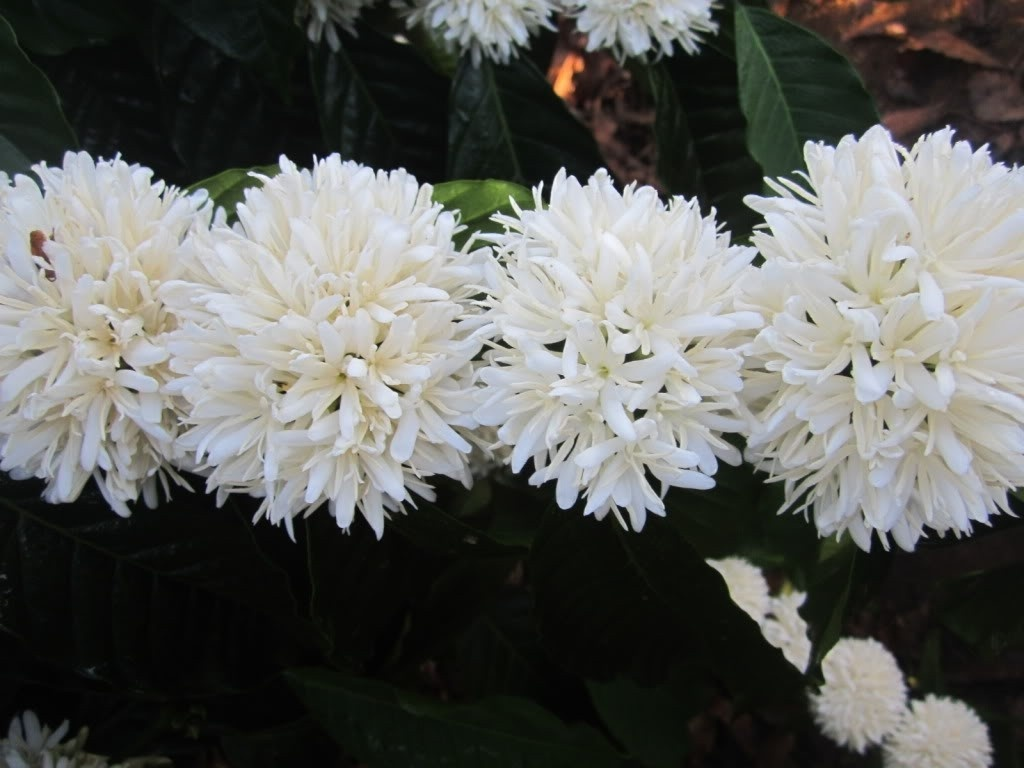Ảnh hoa cafe nở trắng tinh khôi