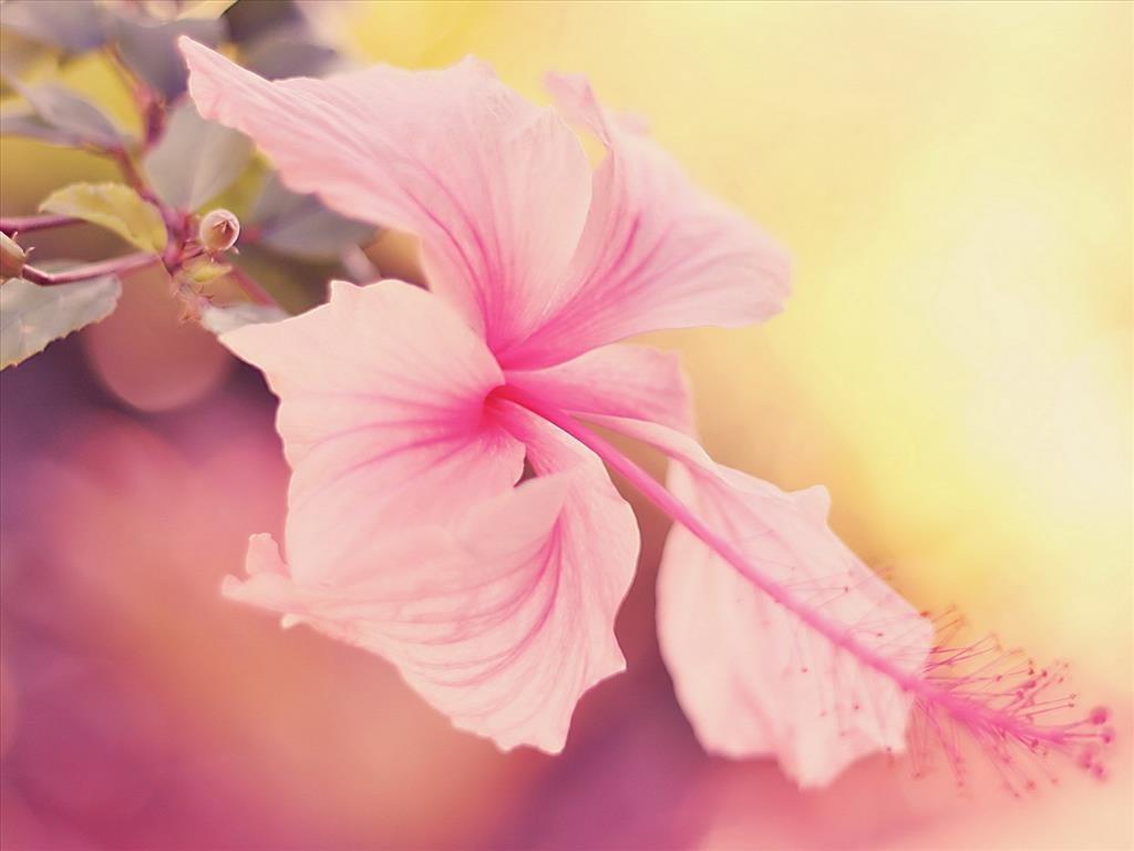 Ảnh hoa dâm bụt đẹp dịu dàng