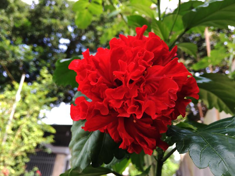 Ảnh hoa dâm bụt đỏ cánh kép