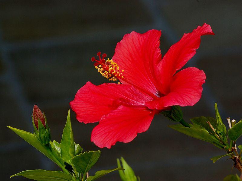 Ảnh hoa dâm bụt đỏ đẹp