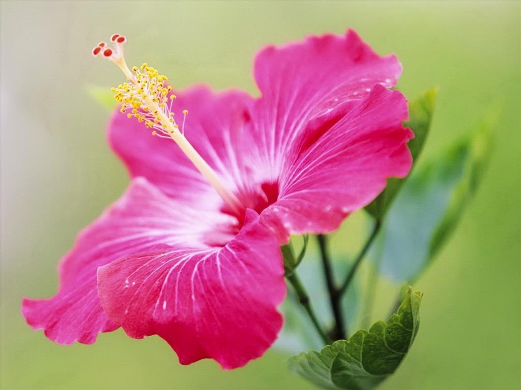 Ảnh hoa dâm bụt hồng đẹp dịu dàng