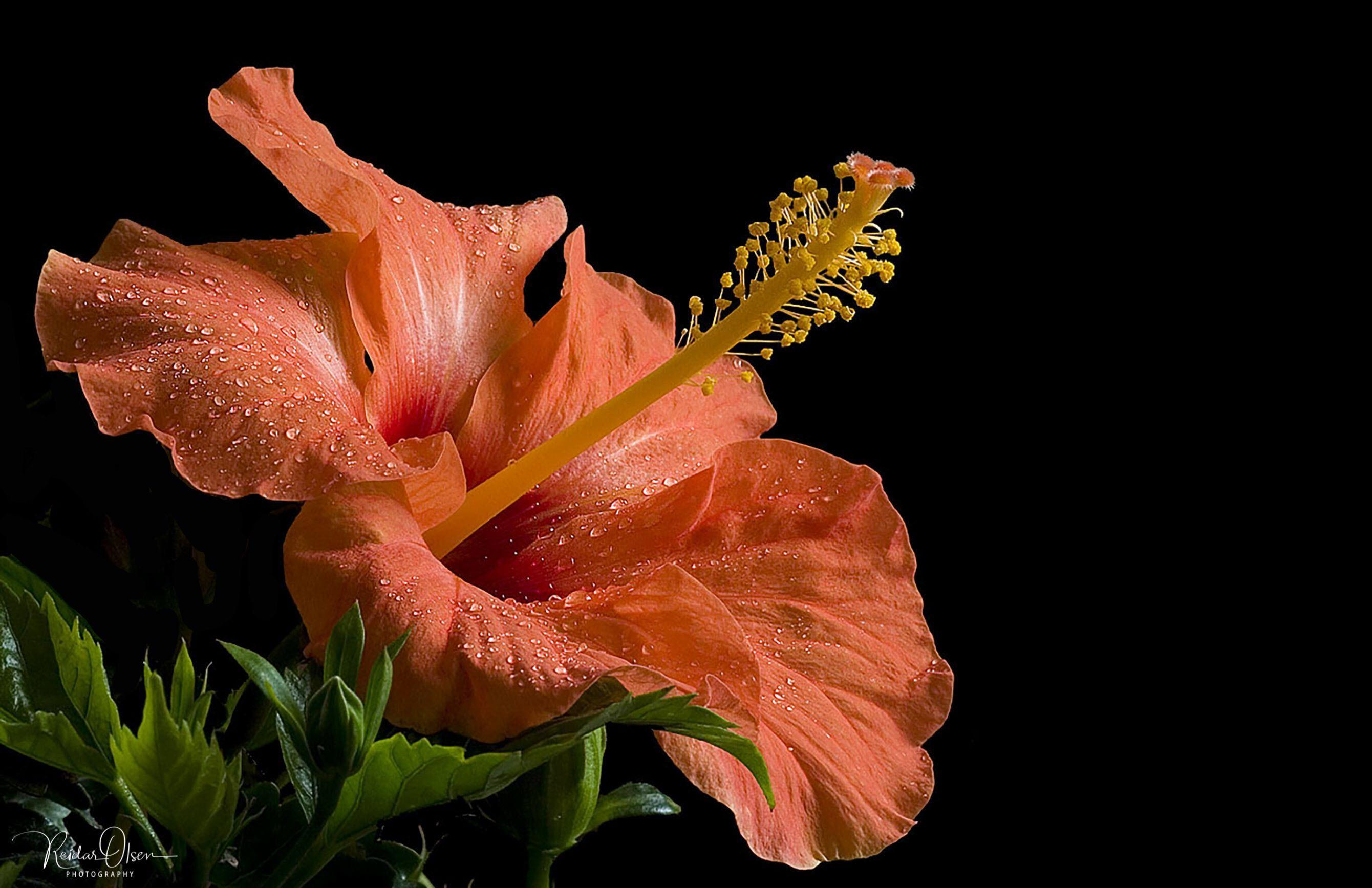 Ảnh hoa dâm bụt màu cam
