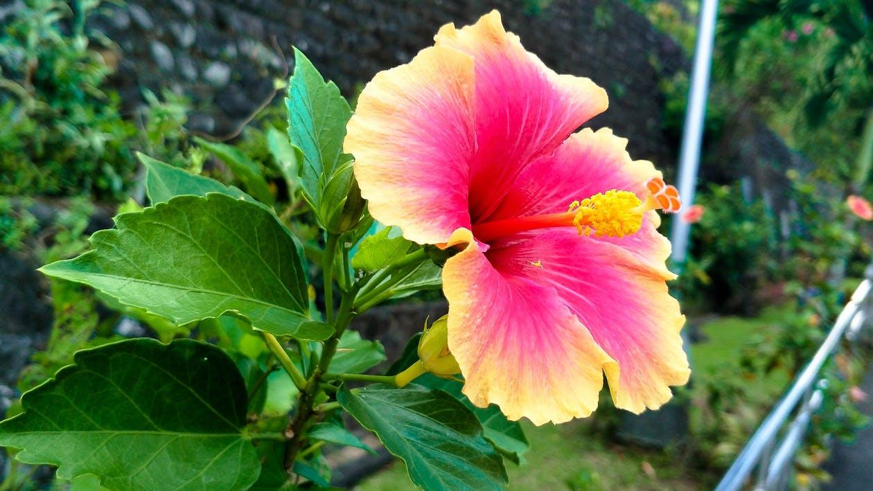 Ảnh hoa dâm bụt màu sắc độc lạ