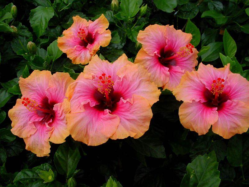 Ảnh hoa dâm bụt nhiều màu đẹp
