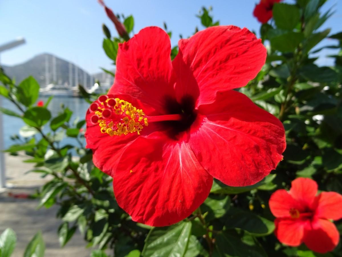 Ảnh hoa dâm bụt rực rỡ dưới nắng