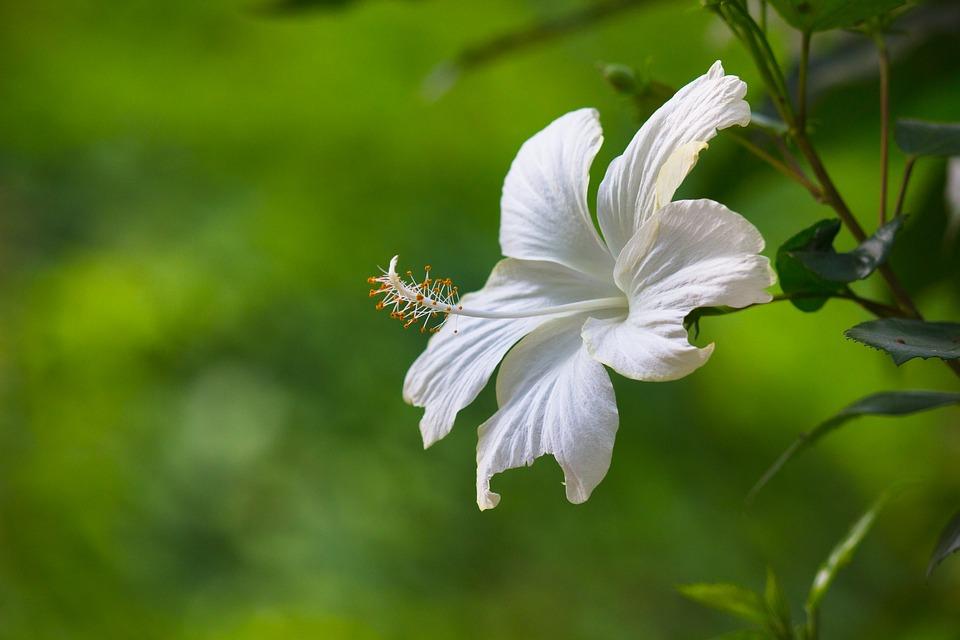 Ảnh hoa dâm bụt trắng đẹp