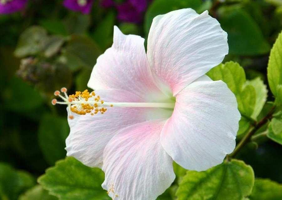 Ảnh hoa dâm bụt trắng