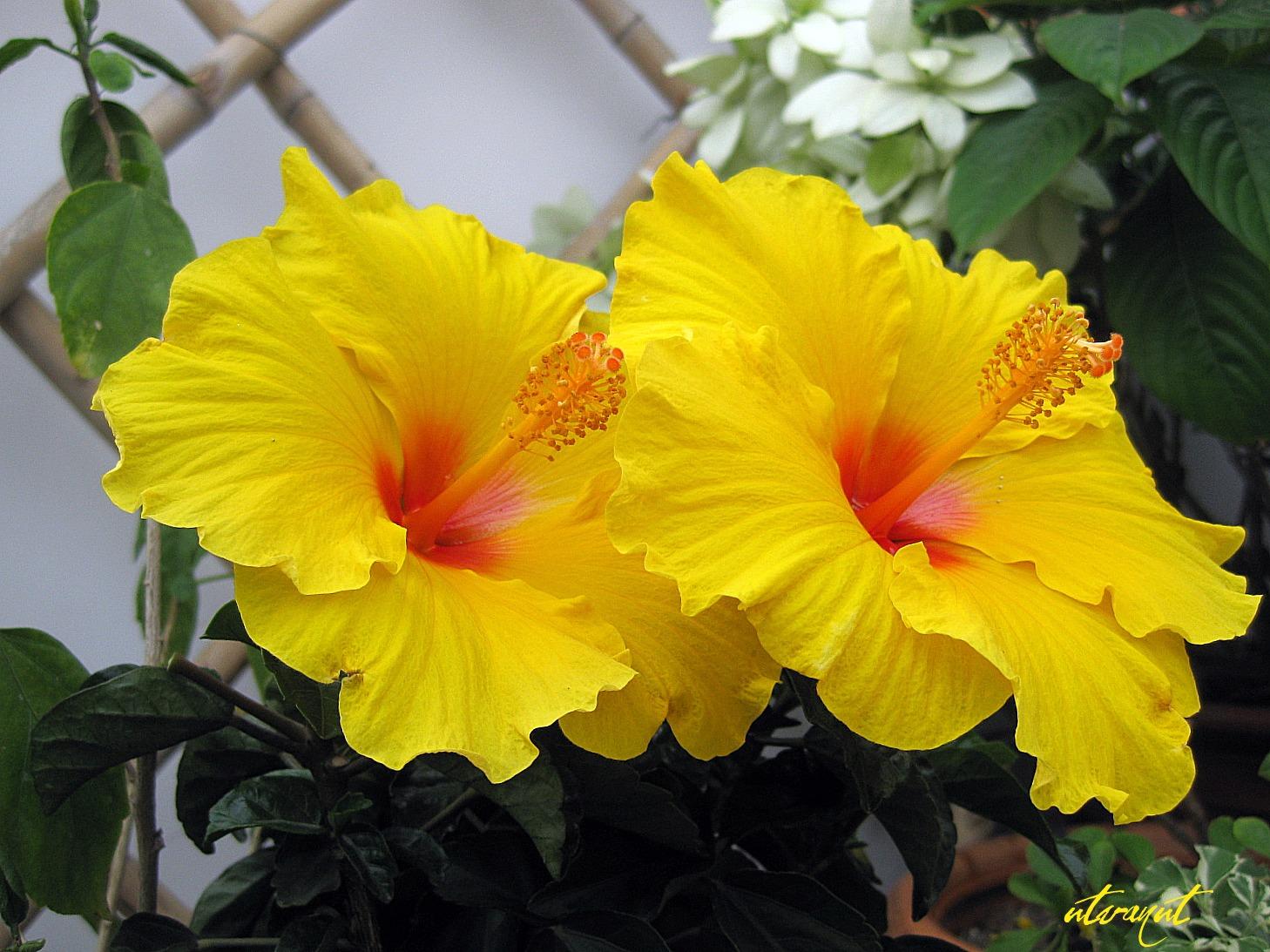 Ảnh hoa dâm bụt vàng rực rỡ