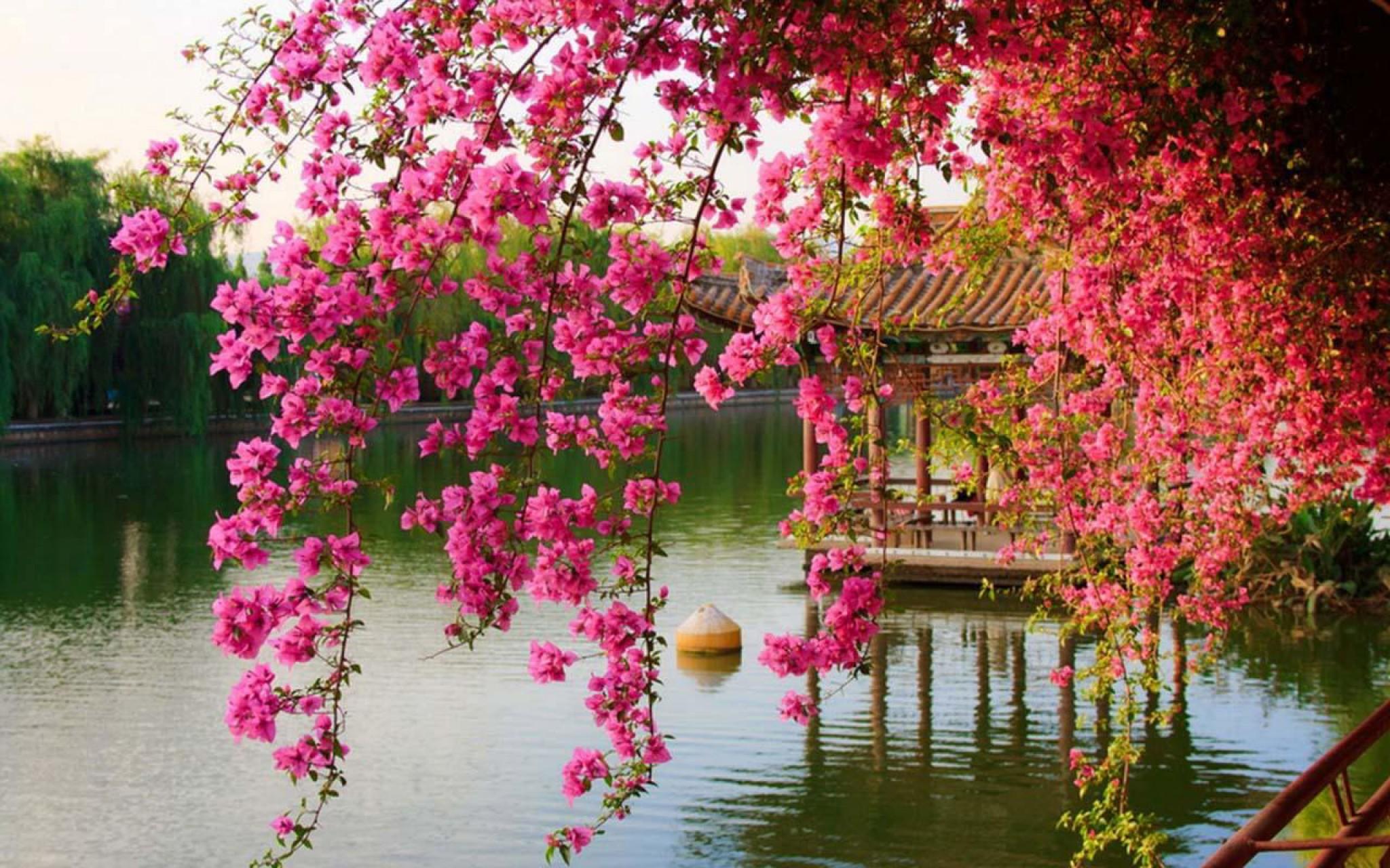 Ảnh hoa giấy bên hồ