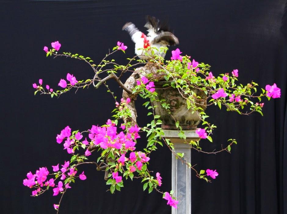 Ảnh hoa giấy bonsai