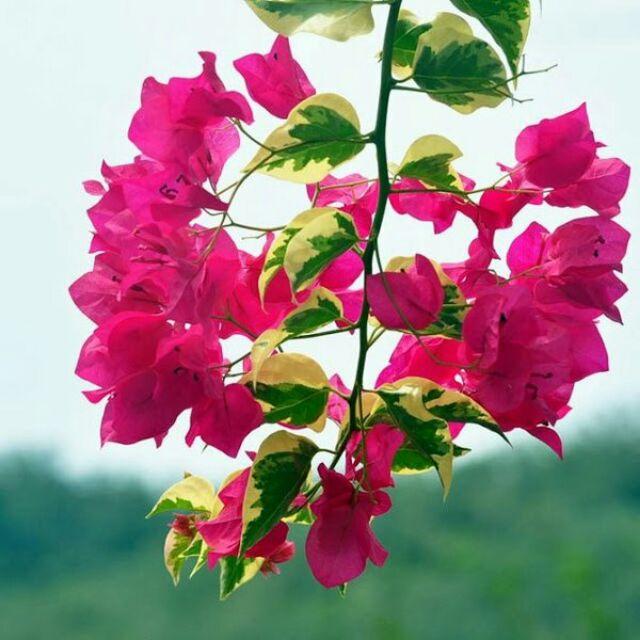 Ảnh hoa giấy cẩm thạch