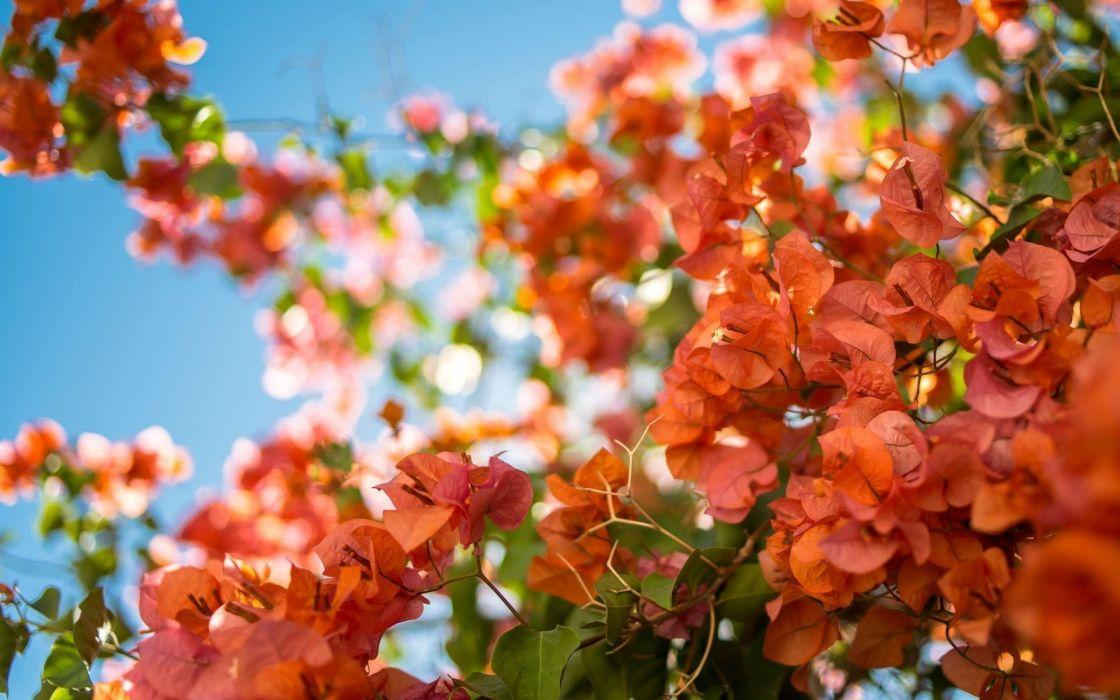 Ảnh hoa giấy màu cam đẹp nhất