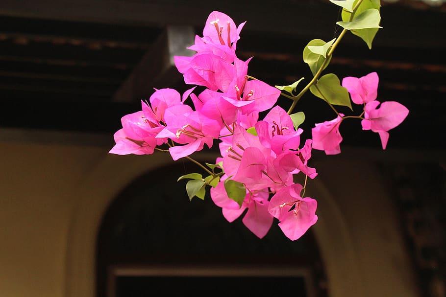 Ảnh hoa giấy màu hồng