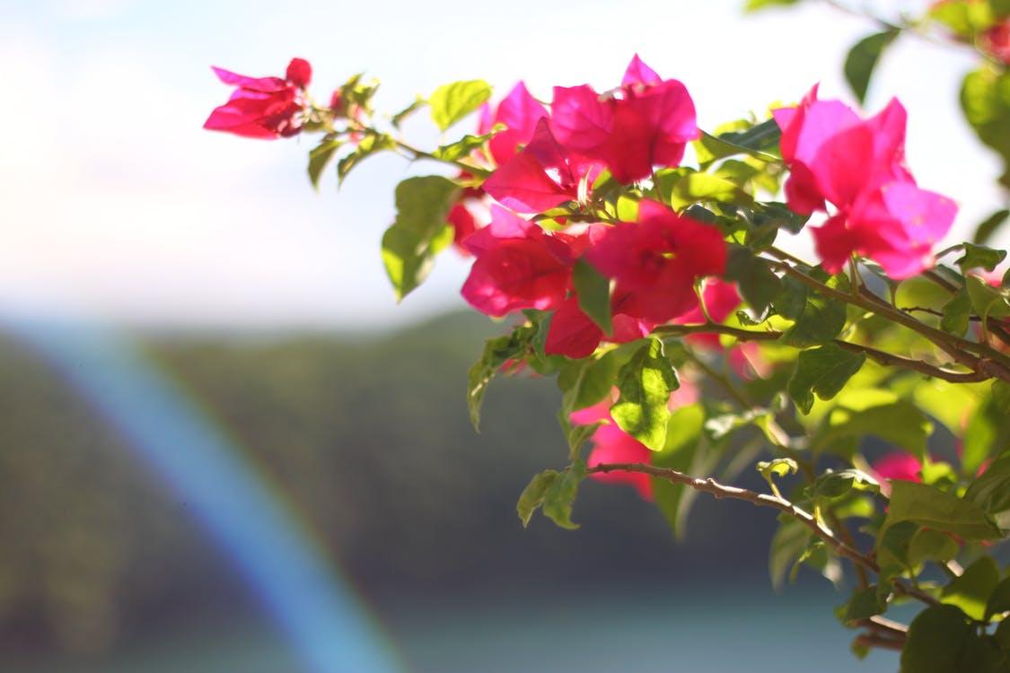 Ảnh hoa giấy rực rỡ dưới nắng