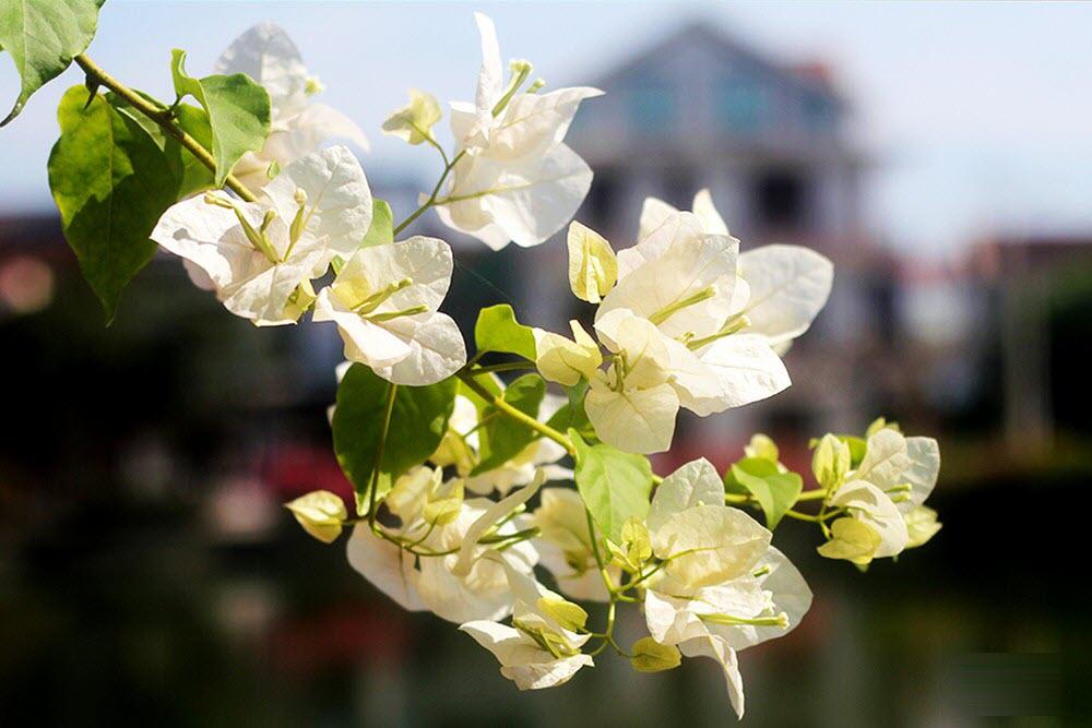 Ảnh hoa giấy trắng đẹp mong manh